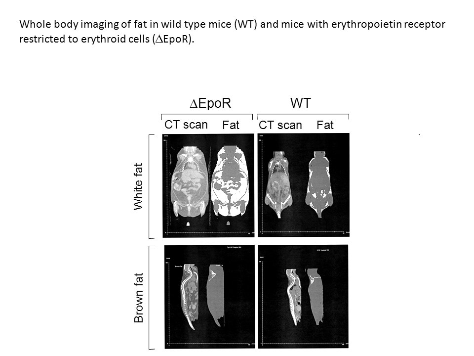 Imaging of White Fat in Mice