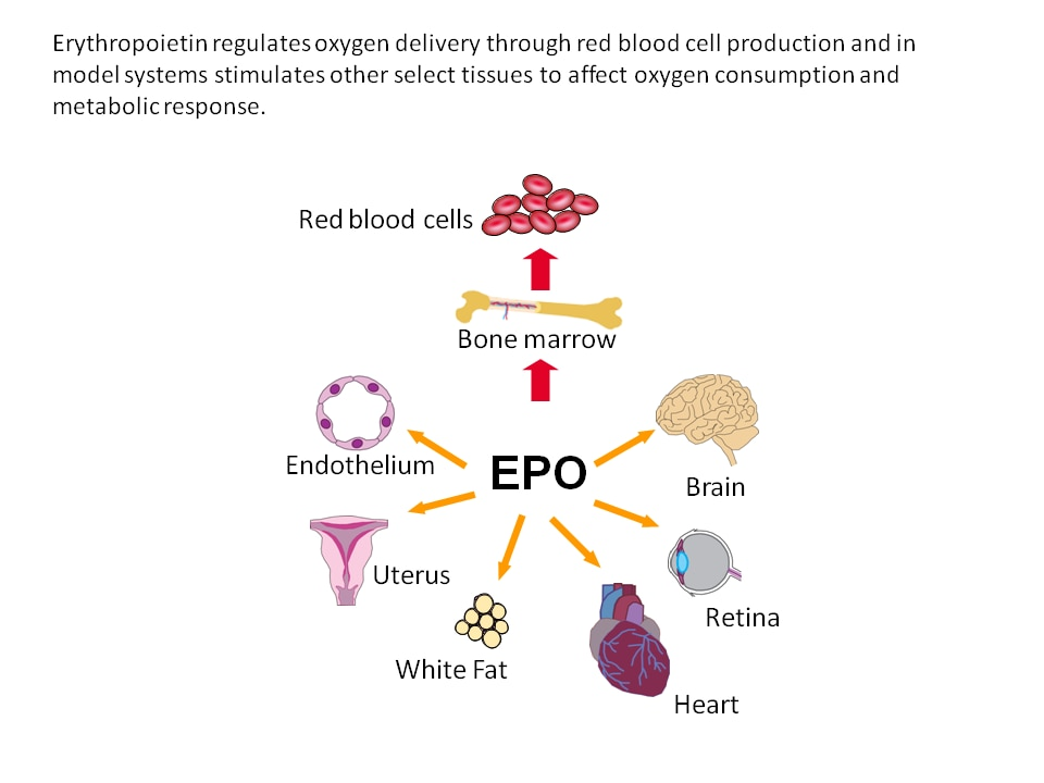 Photo of Multi-tissue response to erythropoietin