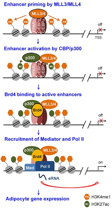 Epigenomic regulation of enhancers