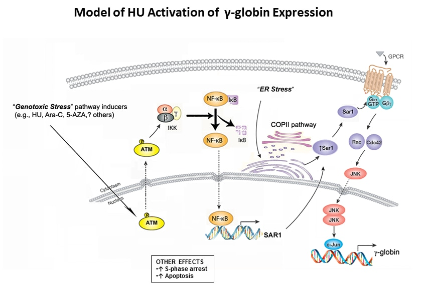 Photo of Model of HU Activation of γ-globin Expression
