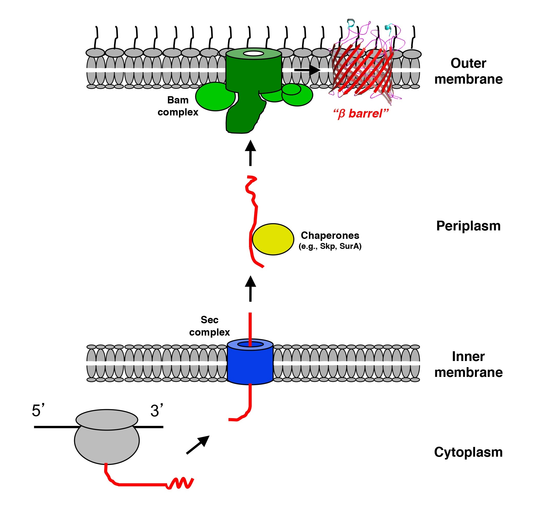 A graphic which depicts outer membrane protein (O M P) biogenesis in Gram-negative bacteria