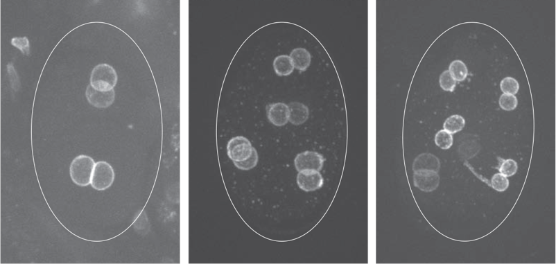 C. elegans embryos in which the maternal and paternal pronuclei failed to merge, giving rise to cells with two nuclei