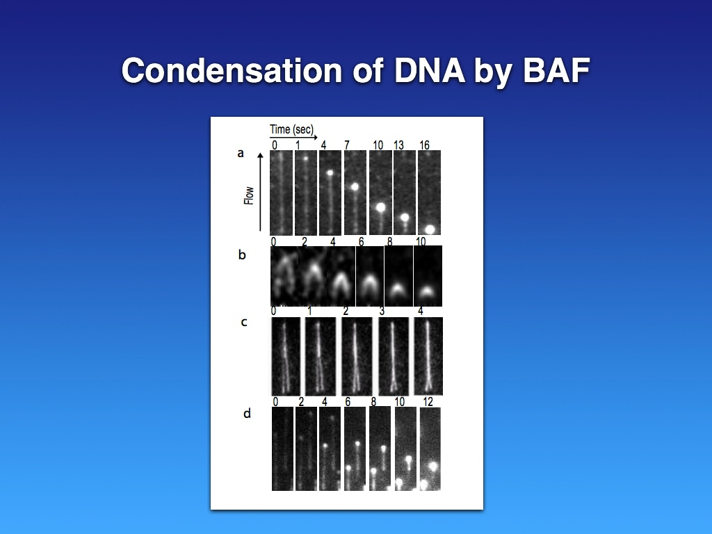 Condensation of DNA by barrier-to-autointegration factor (BAF)