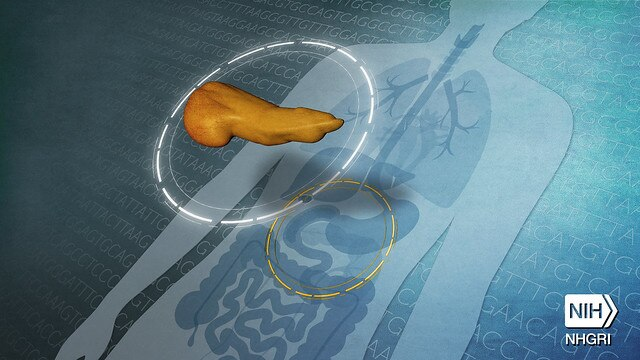 A digital photo highlighting a pancreas within the body