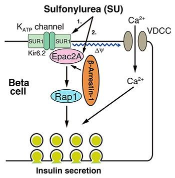 Image representing sulfonylurea action in a cell