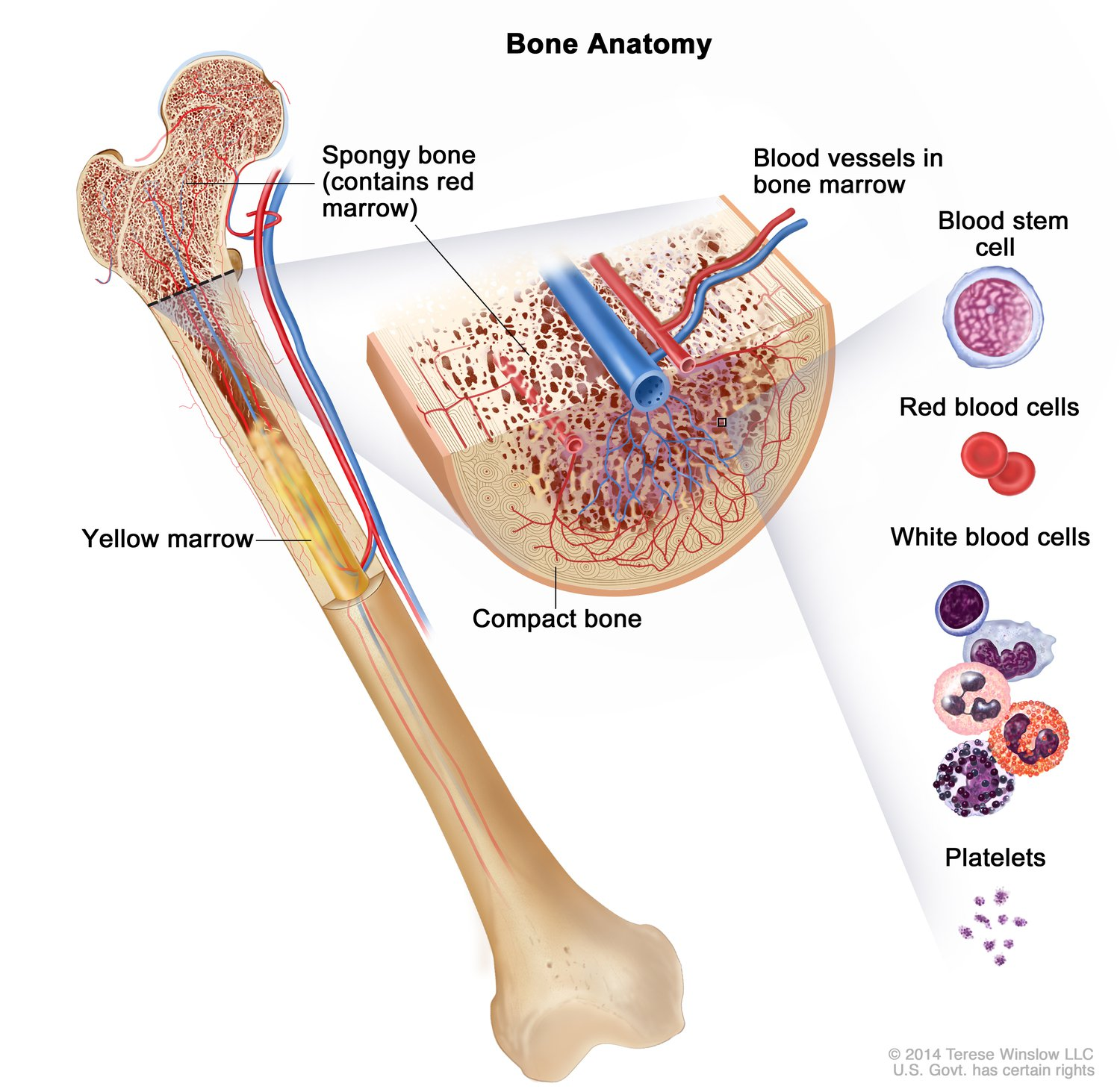 Cross section of a bone showing spongy bone, compact bone, and blood vessels in bone marrow, with an inset showing individual blood components: blood stem cell, red blood cells, white blood cells, and platelets.