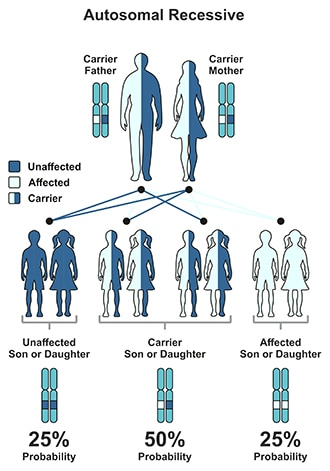 Illustration of autosomal recessive pattern. Children of a carrier father and mother have a 25% chance of not having the disease, a 50% chance of being a carrier, and a 25% chance of having the disease.