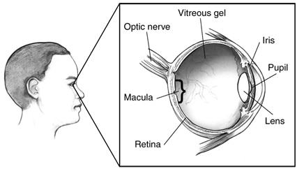 Drawing of a cross section of an eye with the following labeled: vitreous gel, iris, pupil, lens, retina, macula, and optic nerve.