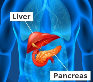 Illustration of the liver and pancreas.
