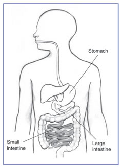 Drawing of the digestive tract. The stomach, small intestine, and large intestine are labeled.