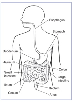 Illustration of the GI tract, with the esophagus, stomach, small intestine, duodenum, jejunum, ileum, large intestine, cecum, colon, rectum, and anus labeled.