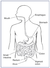 Drawing of the gastrointestinal tract with the mouth, esophagus, stomach, small intestine, colon, sigmoid colon, rectum, and anus labeled.