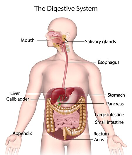 your digestive system how it works niddk rh niddk nih gov Digestive System Diagram Worksheet Labled Diagram Digestive System