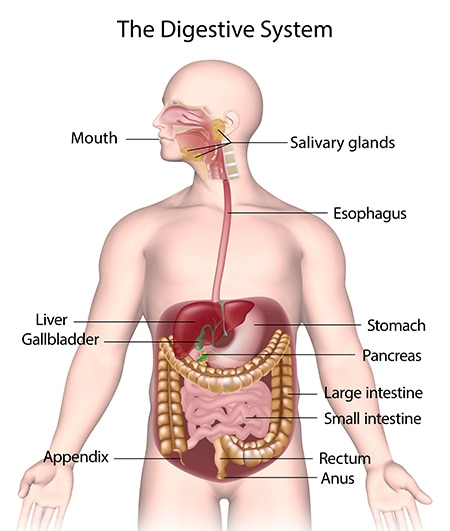 Human model showing the digestive system, which includes the mouth, salivary glands, esophagus, stomach, liver, gallbladder, pancreas, large and small intestines, appendix, rectum, and anus.