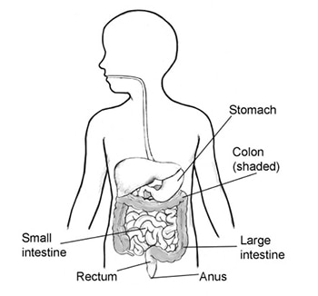 Frontal image of body chart with stomach, colon, anus, rectum and small and large intestines