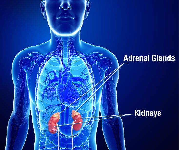 Illustration of the kidneys and adrenal glands.
