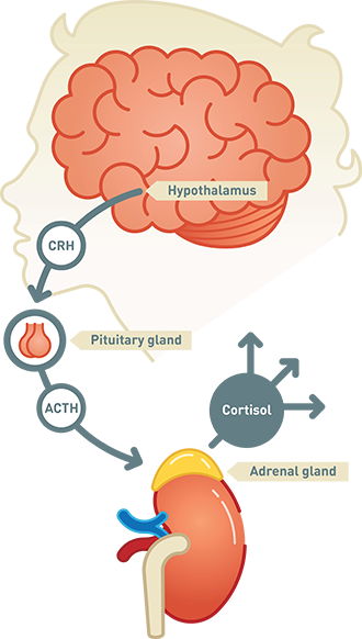 Illustration of the hypothalamus, pituitary, and adrenals, with a diagram showing the action of CRH on the pituitary and the action of ACTH on the adrenals.