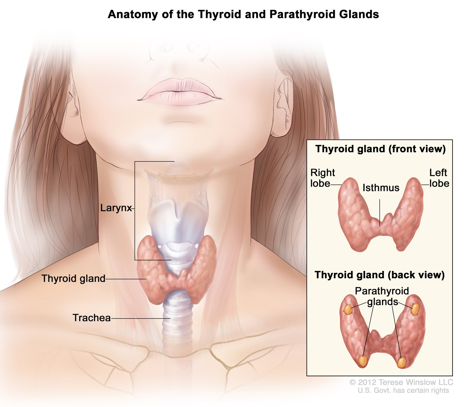 Illustration of the parathyroid glands and their location in the neck.