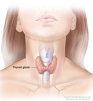 Illustration of the thyroid gland and its location in the neck.
