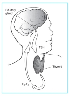 Drawing of the head and neck with the thyroid, pituitary gland, TSH, and T3–T4 labeled. Arrows show the direction of TSH from the pituitary gland to the thyroid gland and of T3–T4 from the thyroid to the pituitary gland.