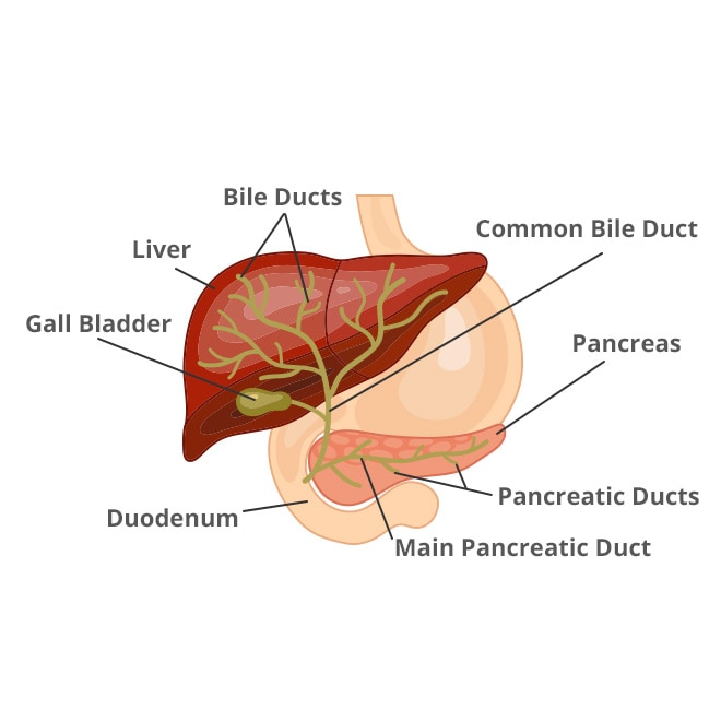 bile duct diagram