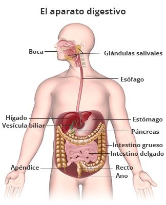 El Aparato Digestivo Y Su Funcionamiento Niddk