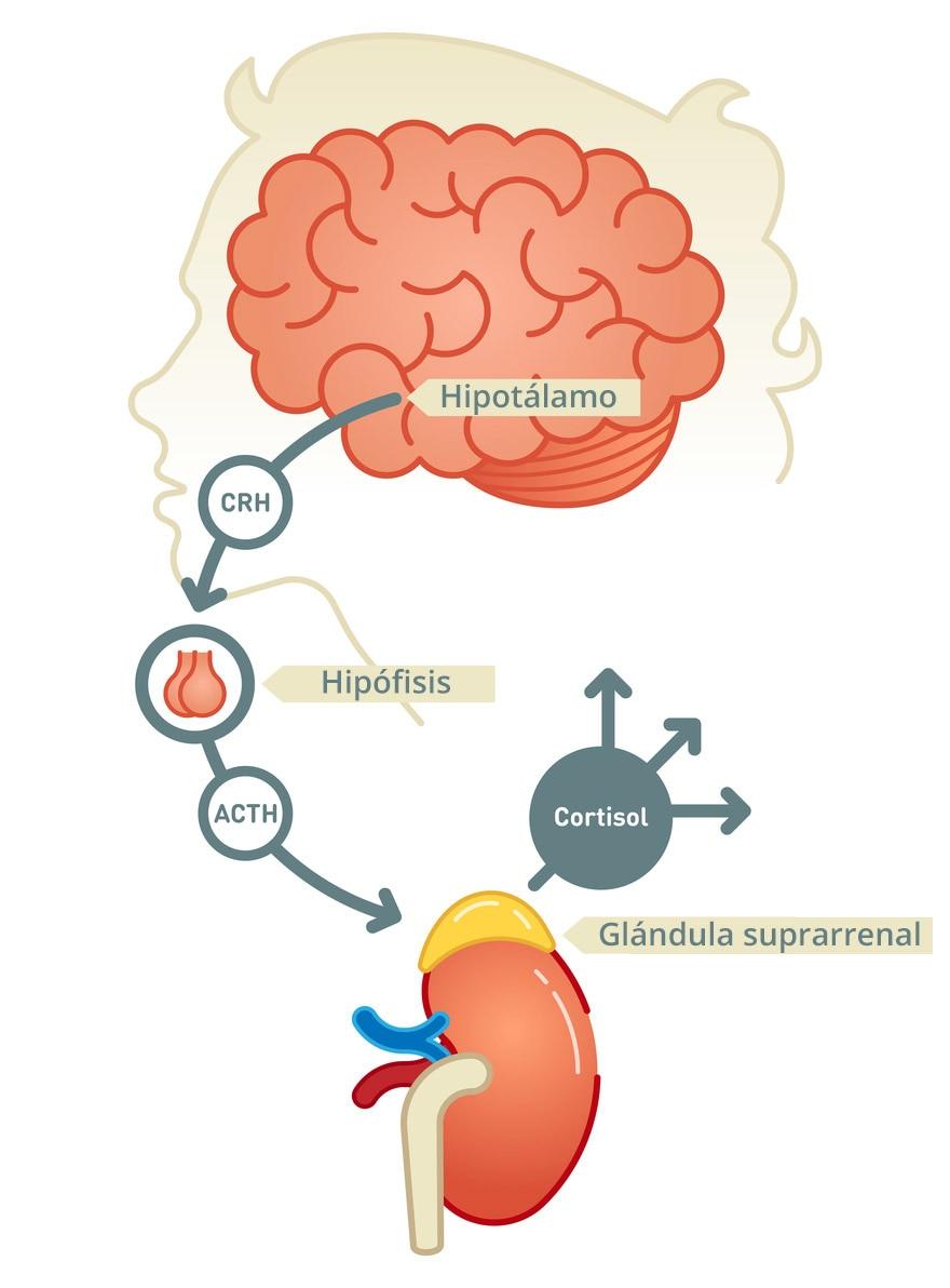 disfuncion glandulas suprarrenales sintomas de diabetes