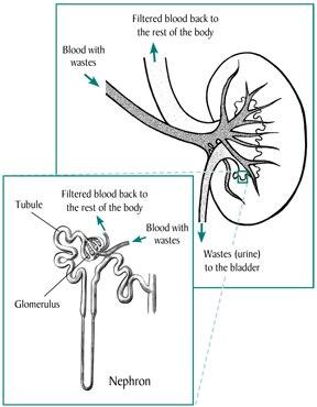Kidney Disease In Children Niddk