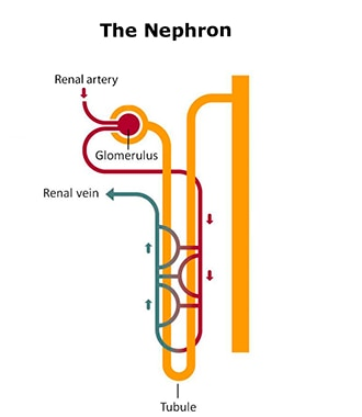 Drawing of a nephron showing that a blood vessel from the renal artery leads to the glomerulus before branching across the u-shaped tubule and leading to the renal vein.