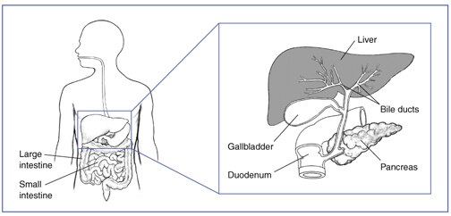Drawing of the large and small intestine with an inset of the liver, bile ducts, gallbladder, duodenum, and pancreas.