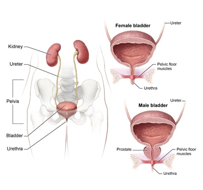 Illustration of the urinary tract and pelvis with close-up cross-sections of the female bladder, urethra, and pelvic floor muscles and the male bladder, prostate, urethra, and pelvic floor muscles.