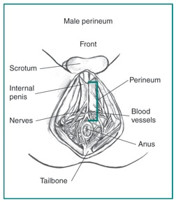 Drawing of the male perineum with scrotum, internal penis, perineum, nerves, blood vessels, tailbone, and anus labeled.
