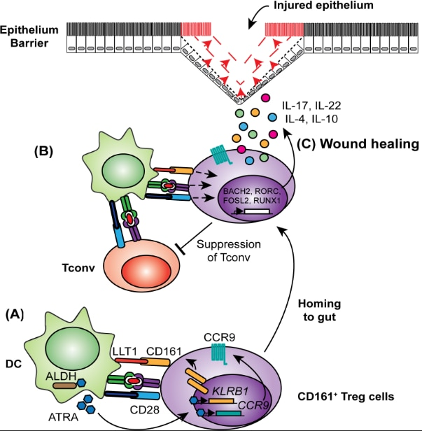Human Retinoic Acid-regulated CD161+ Tregs support wound healing of gut epithelium