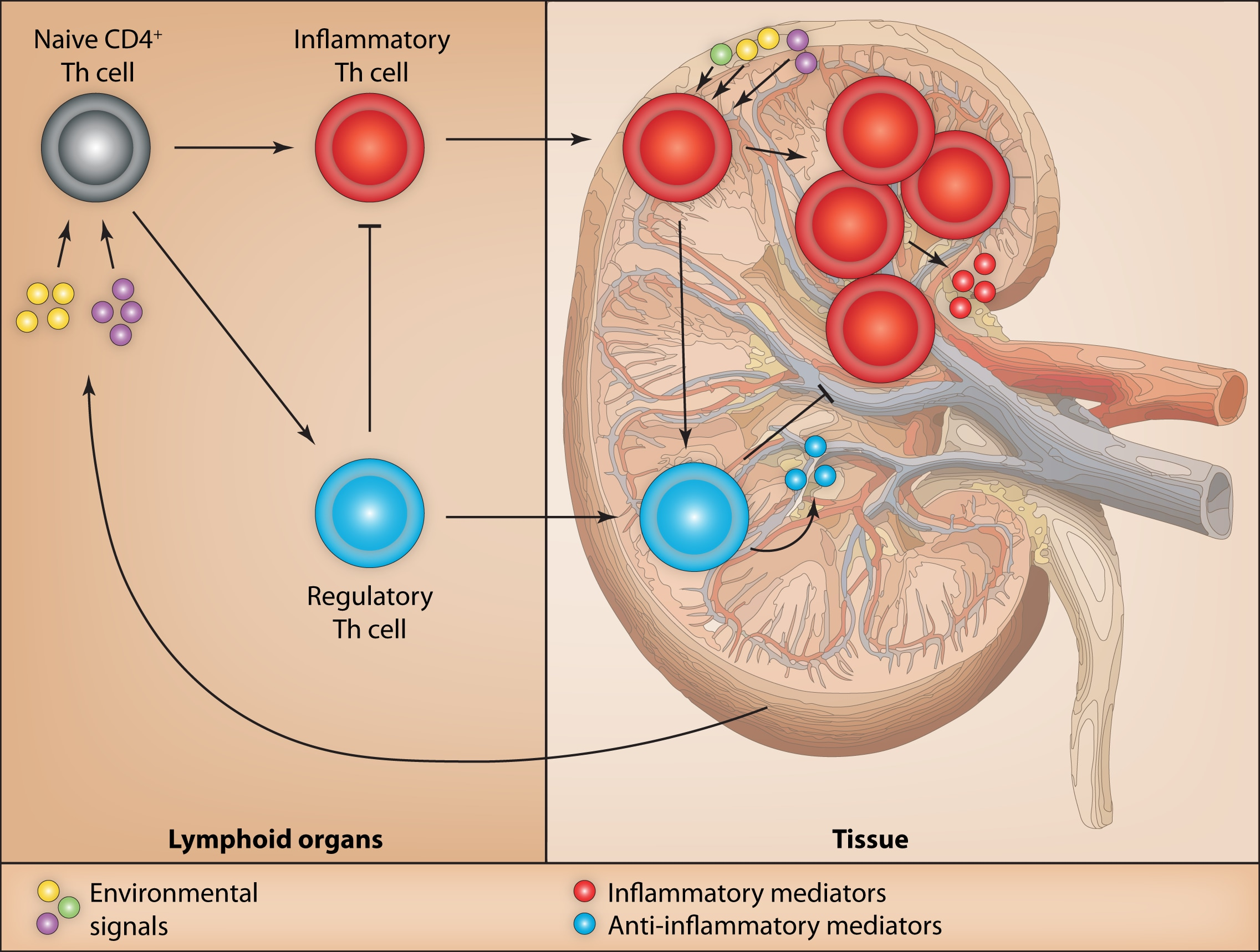 T cell fate decisions in lymphoid organs and tissues Diagram.