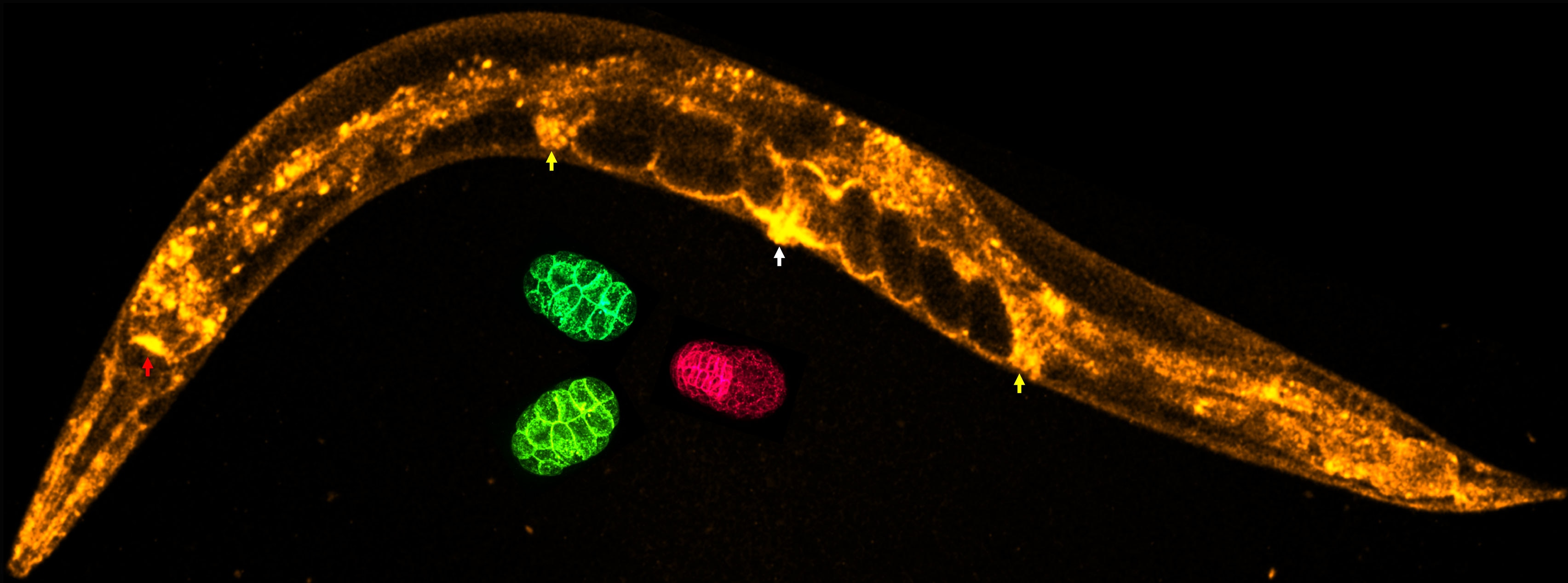 Photo of high expression of GFP::PEXO-1 observed in tubular tissues