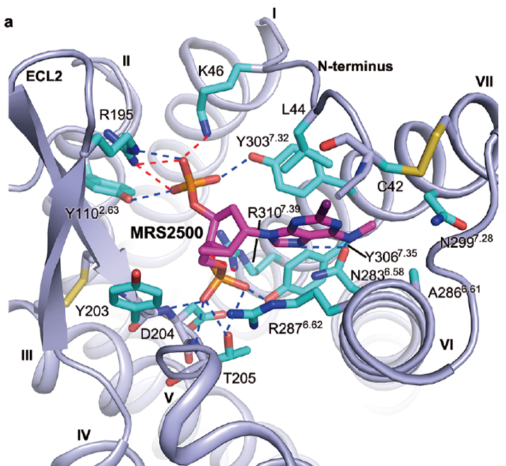 Antithrombotic antagonist MRS2500 binding at the P2Y1 receptor.