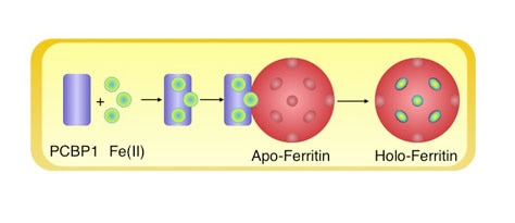 Photo of color model depicting PCBP1 delivering iron to ferritin