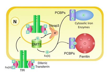 Photo depicting PCBP iron chaperones in mammalian cells