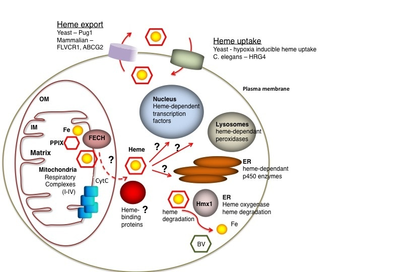 Photo of heme homeostasis in the eukaryotic cell is a balance of synthesis, distribution, and degradation.