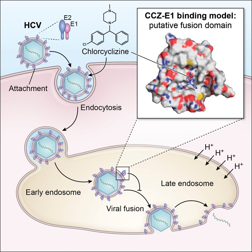 Diagram of Chlorcyclizine and related compounds Inhibit viral fusion of hepatitis C virus entry by directly targeting HCV envelope glycoprotein 1