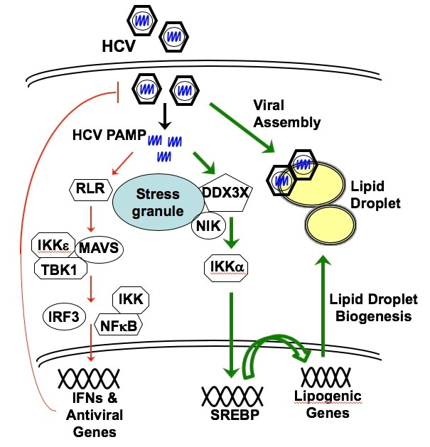 Proposed model of innate antiviral response and HCV-induced lipogenesis and LD formation in HCV assembly.