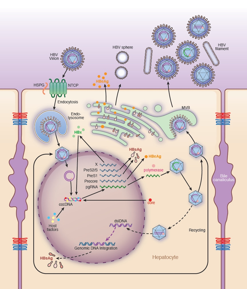 Photo of a schematic showing HBV replication and drug targets