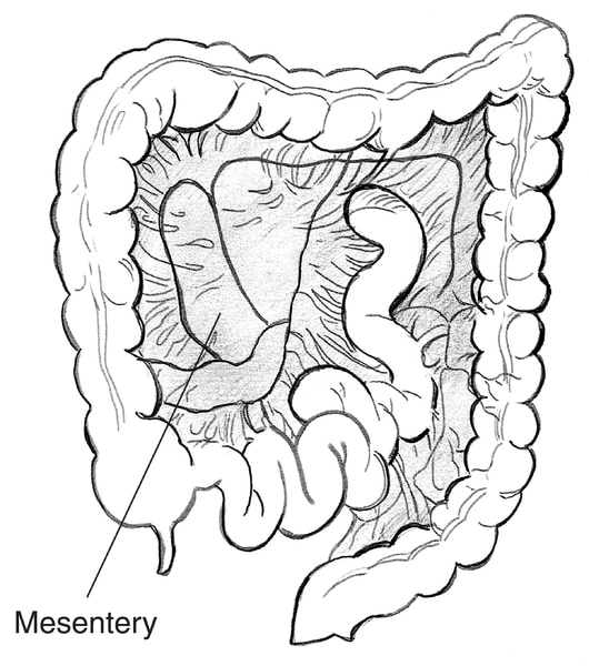 Illustration of the colon and the mesentery, which holds the colon in place, with mesentery labeled.