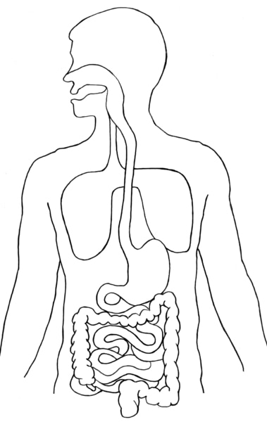 Illustration of the torso showing the digestive tract.