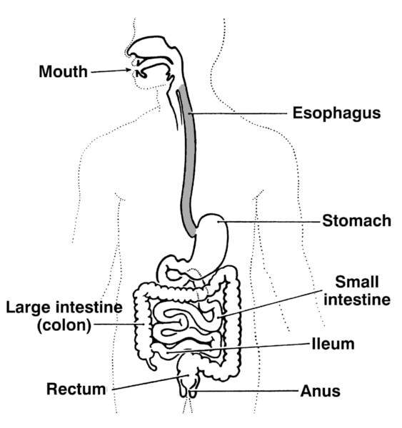 Illustration of the digestive tract with labels pointing to the mouth, esophagus, stomach, small intestine, ileum, large intestine (colon), rectum, and anus.