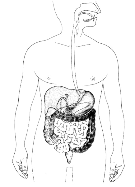 Illustration of the digestive system.