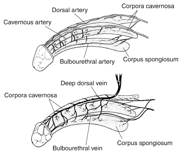 Two illustrations of the penis: the top one showing the arteries of the penis and the bottom one showing the veins of the penis.  The top drawing contains labels for the cavernous artery, dorsal artery, corpora cavernosa, bulbourethral artery, and corpus.