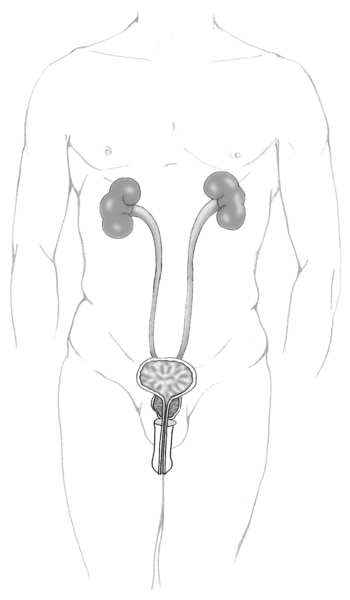 Illustration of the front view of an adult male urinary tract.