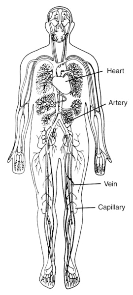 Illustration of a body torso with the heart, an artery, a vein, and a capillary labeled.
