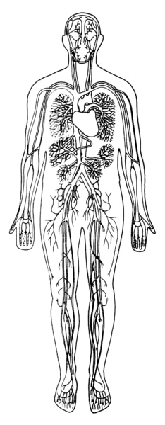 Illustration of a body showing the heart, arteries, veins, and capillaries.